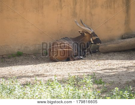 Bongo resting in the shade Tragelaphus eurycerus