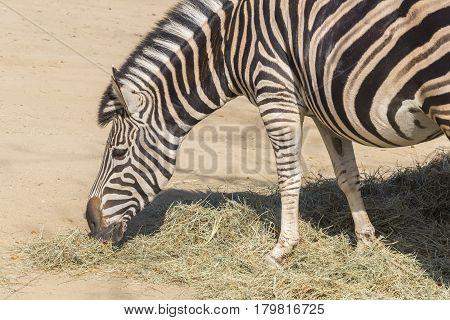 Chapman Zebra eating grass Equus Burchelli Chapmani