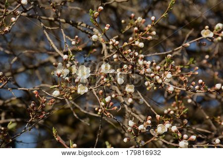 Blooming Cherry Blossoms On A Tree In The Sun