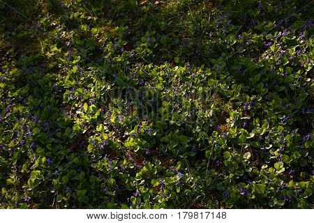 Delicate Violets In The Forest In The Rays Of The Setting Sun