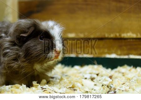 Guinea pig gray colour sits in sawdust