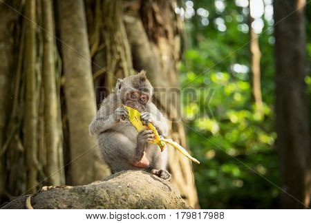catarrhini Old world eating a banana while sitting on a rock in the rainforest