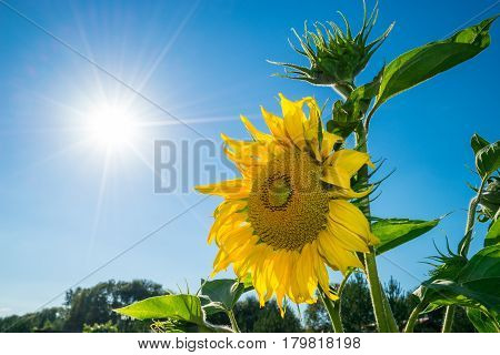 Positive energy of sunshine and yellow sunflower