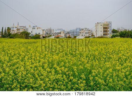 Springtime view of Limassol through the rape seed field.