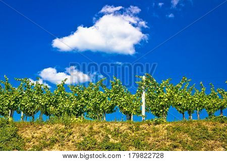 Vineyard On Hill Summer View