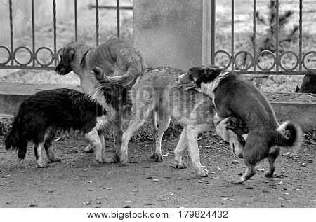 Mating of dogs. A black and white grainy image shot on film. Mates four 4 dogs at the same time.