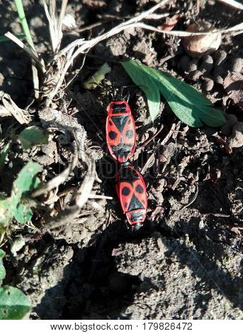 Macro of red and black pattern Caucasian soldiers hairy bug with red eyes sitting on the ground
