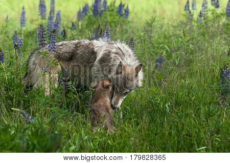 Grey Wolf (Canis lupus) Juvenile and Pup Share Moment - captive animals