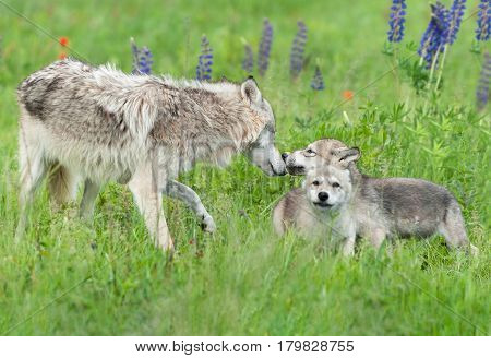 Grey Wolf (Canis lupus) Greets Pups - captive animals