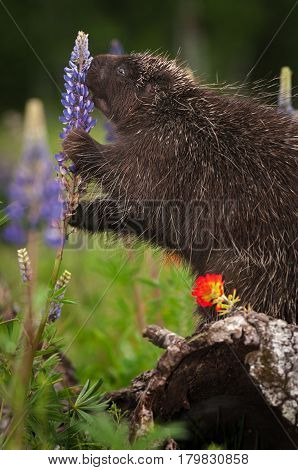 Porcupine (Erethizon dorsatum) Sniffs at Lupin - captive animal