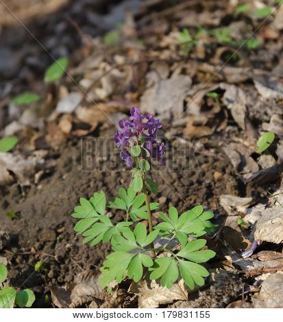 Bright purple flower plants Corydalis blooms in the forest on a warm April day