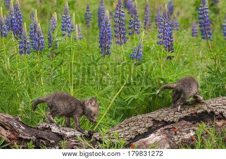 Two Red Fox (Vulpes vulpes) Kits Clamber Across Log - captive animals