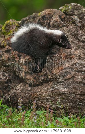 Striped Skunk (Mephitis mephitis) Clambers Right from Within Log - captive animal
