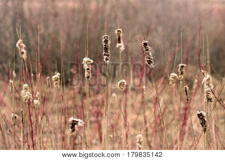 Cattails with bright red wood growth in background.