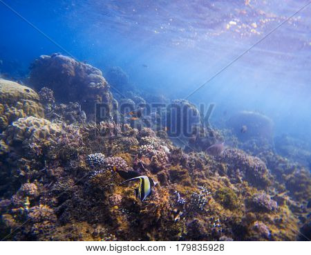 Underwater landscape with tropical fish. Butterfly fish Moorish Idol between corals and sea plants. Seashore ecosystem with coral fish. Colorful coral reef scene with sunlight rays in blue water.