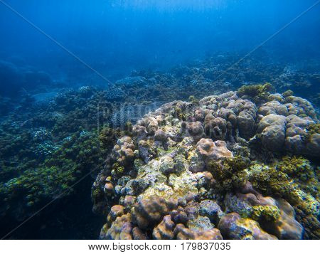 Underwater landscape with big round coral. Tropical seashore underwater photo. Coral ecosystem with sea animals and plant. Exotic island sea snorkeling scene. Natural aquarium. Seabottom with corals
