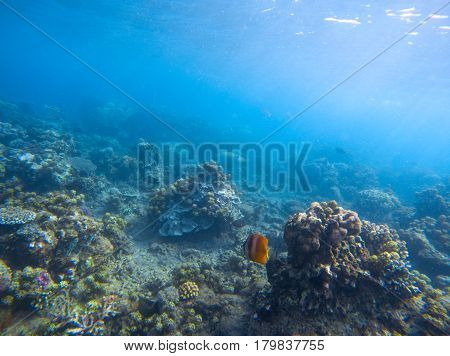 Yellow butterfly fish in coral reef. Tropical seashore underwater photo. Coral ecosystem with sea animals and plants. Exotic island sea bottom snorkeling scene. Natural aquarium and butterflyfish