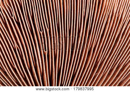 Beautiful detail of a closeup of a mushroom showing lines from the underside. Can be used as a background with space for text.