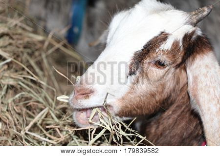 A Young Female Nubian Goat Eating Her Hay