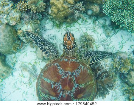 Sea turtle above sand and coral on seabottom. White coral sand and coral reef. Tropical lagoon environment with sea animal. Olive green turtle in wild nature. Snorkeling with tortoise underwater photo