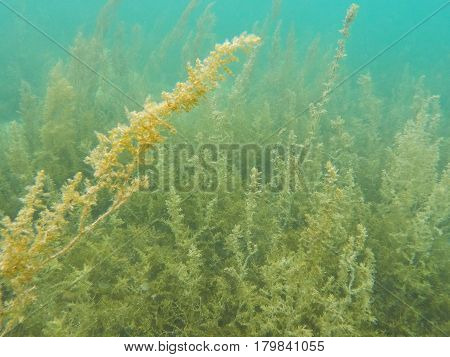 Underwater landscape with sea plants and seaweed. Warm tropical lagoon ecosystem. Exotic seashore ecological problem. Seaweed washing in seawater current. Sargassum undersea photo. Oceanic botany