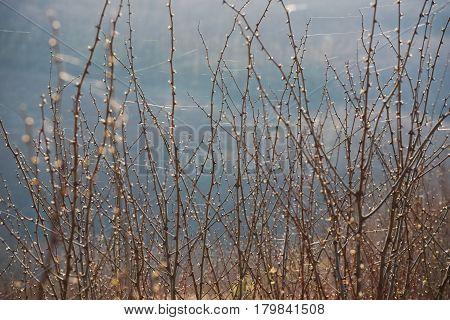 Thorny Acacia Branches