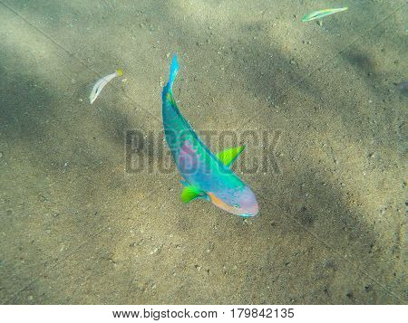 Tropical coral fishes in the sea. Colorful tropical fish underwater photo. Parrotfish in wild nature. Tropical fish Parrot on sea bottom background. Multicolored Parrotfish in exotic island seashore
