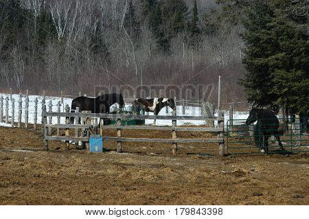 pen fence  hay  horses  three  snow  trees