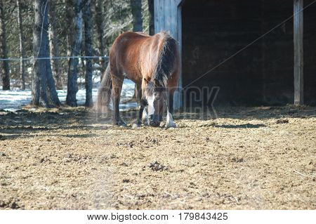 horse main tail brown  eating  hay  pen