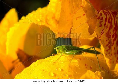 Green grasshopper and yellow flower. Small grasshopper sit on yellow lily in sunny garden. Green grasshopper on yellow petal with water drops macro photo. Summer garden flower and insect after rain