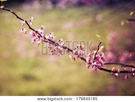 Redbud Tree branch with pink and purple pedals