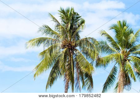Coco palm tree on blue sky background. Sunny day on tropical island. Summer vacation banner template. Fluffy palm tree with green leaves. Coconut palms under sunlight. Exotic nature relaxing view