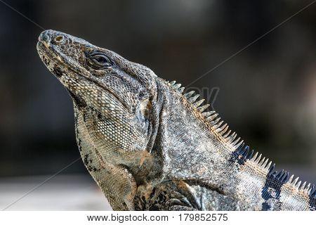 Close up of iguana in wildlife. Cancun, Mexico beach