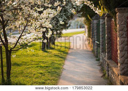 Idyllic village sidewalk with blooming trees at sunset