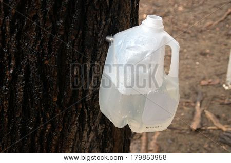 milk jugs on trees for collecting maple sap for producing maple syrup.