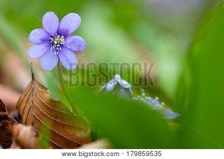 Blue spring wild flower, Hepatica nobilis in the pristine forest of Slovenia. A beautiful small wildflower macro. Liverleaf or liverwort is the name of these flowers.