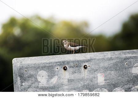 Common sandpiper is perched on a concrete pole