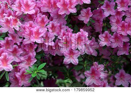 Azalea flowers pink multiple numerous plenty beautiful