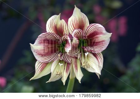 butterfly amaryllis flower plant macro up close