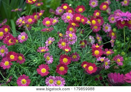 Margarite Daisy flowers petals numerous red pink lovely