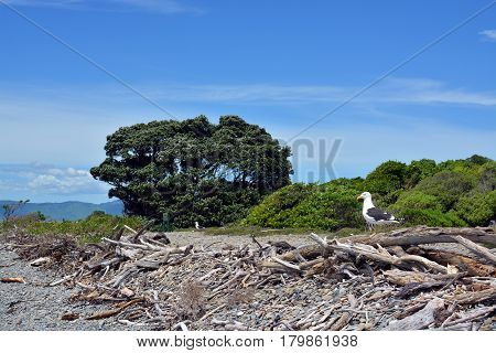 Black Backed Gull Colony on Kapiti Island Bird Sanctuary. In foreground is the stony beach and accumulated driftwood.