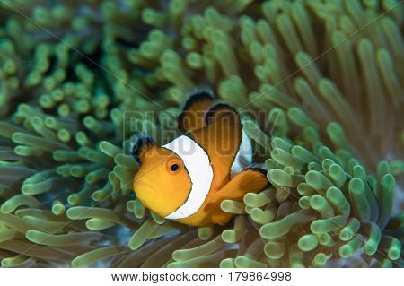Beautiful anemone fish (clown fish) in sea anemone