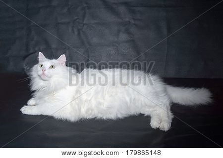 White cat breed Persian angora on black background