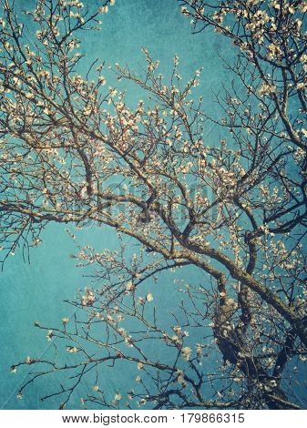 Pear blossoms against  a blue sky