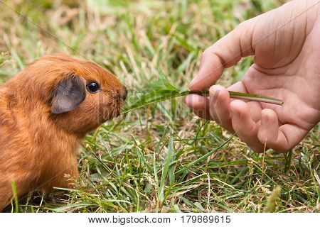 hand feeding young guinea pig with leaf of dandelions