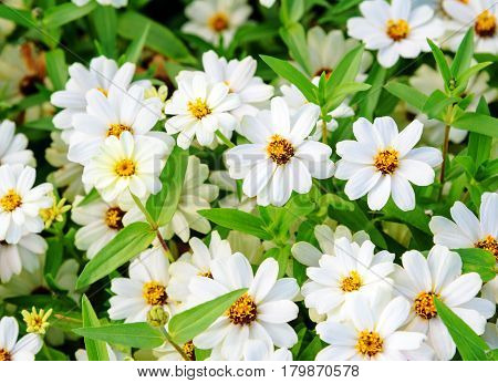 White zinnia angustifolia flowers on flowerbed In the summer