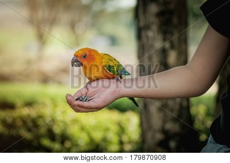 Parrot standing over hand to eat Sun flower seed.