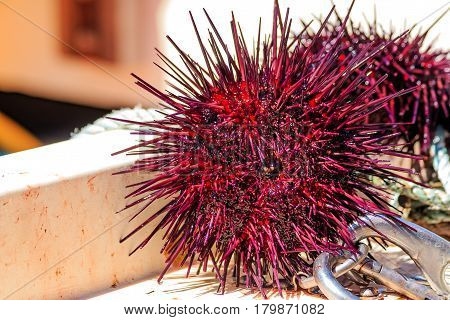 Close Up Sea Urchins On Sale At The Harbor In Half Moon Bay California