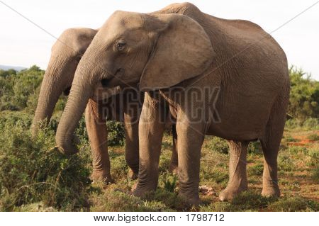 Two African Elephant Cows