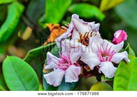 Beautiful Allamanda flower blooming in garden on white light